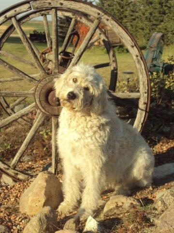 goldendoodle puppies mn. pictures Goldendoodle puppies
