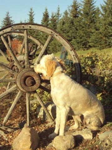goldendoodle puppies california. Golden Doodle puppies.