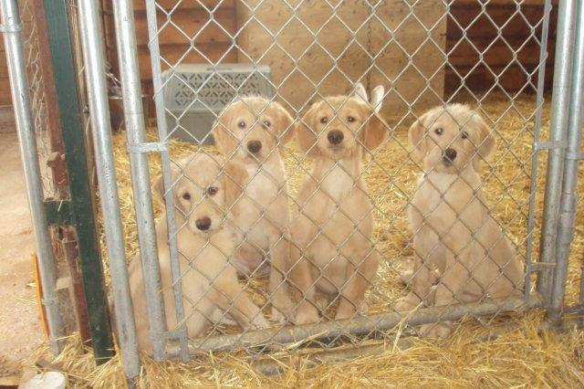 .I was out taking pictures of the Golden Doodle pups today and caught these four watching me!